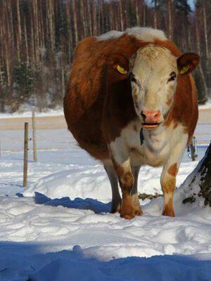 Tellervo-lehmä